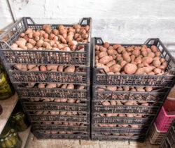 G2-Kartoffeln In Kisten