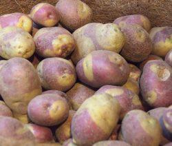 Gefleckte Kartoffel Sorte Apache