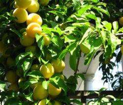 Gelbe Pluots Im Garten