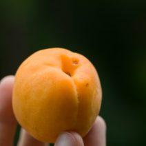 Gepflückte Aprium