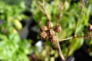 Getrocknete Früchte Koriander Im Garten