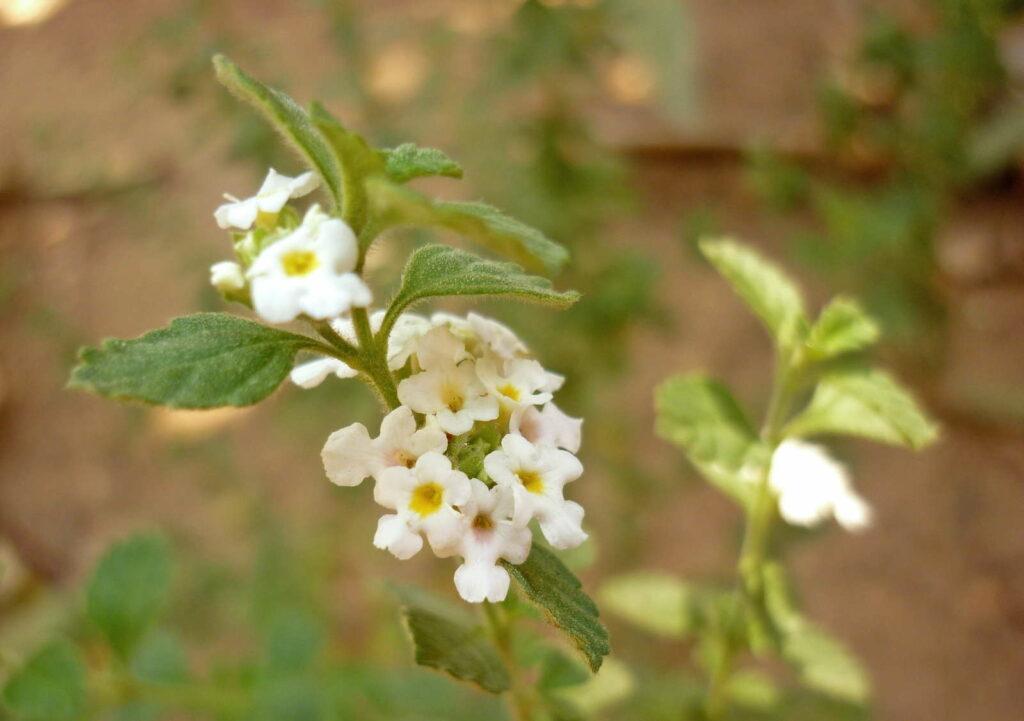 weiße Blüte griechischer Oregano