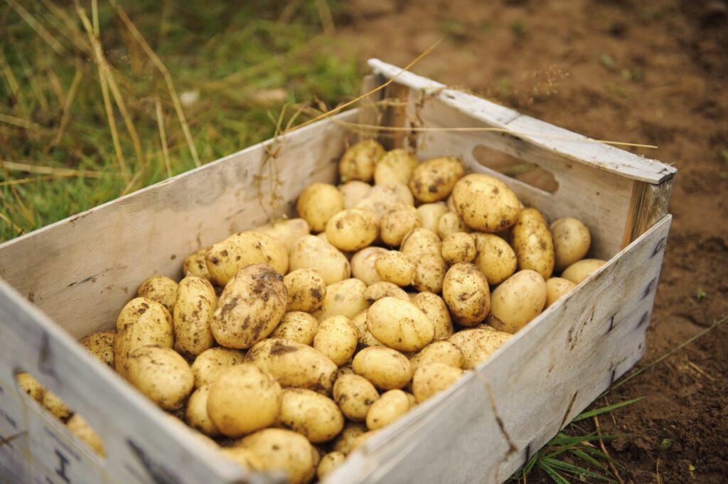 Geerntete Kartoffeln in einer Holzkiste