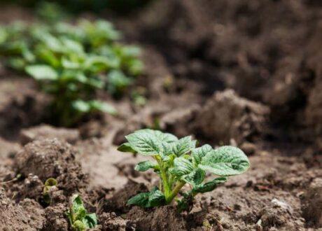 Junge Kartoffelpflanze Im Garten