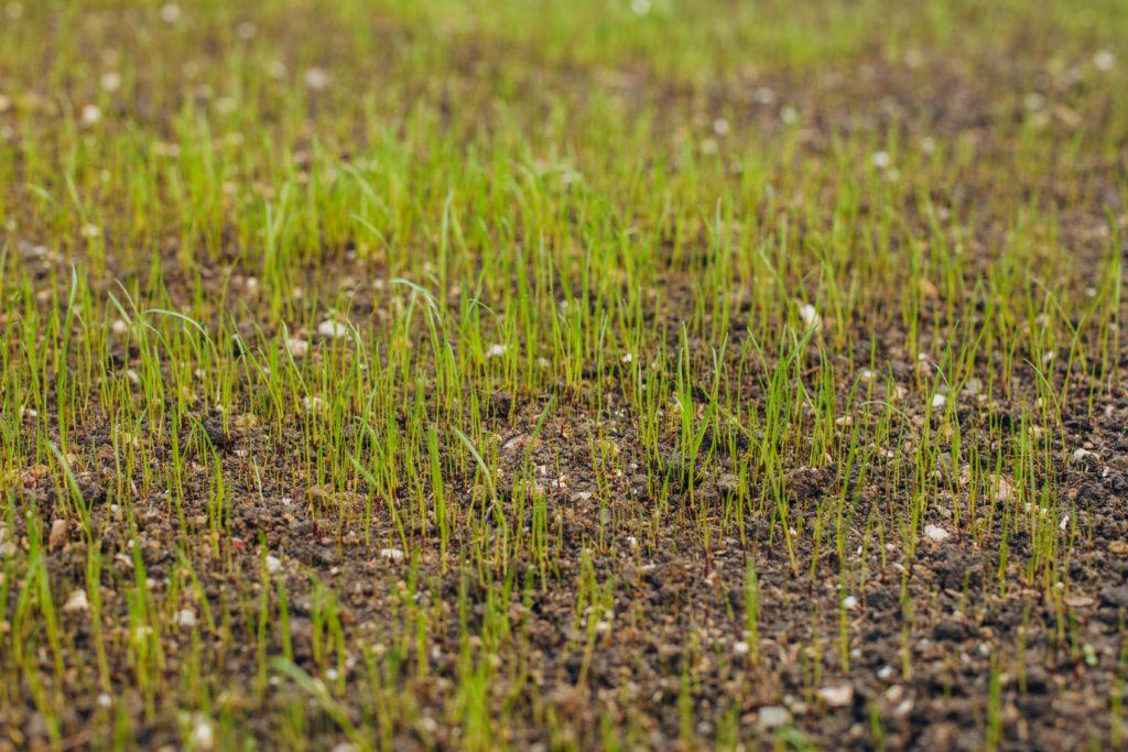 Junger Rasen wachsend