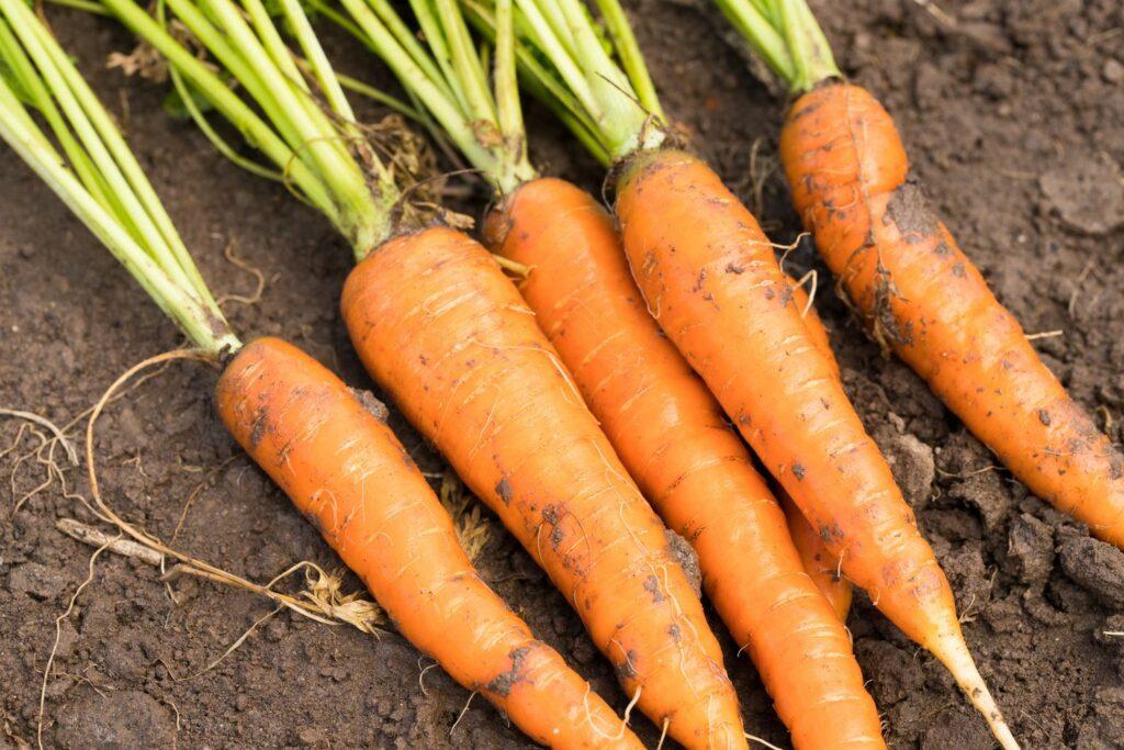 geerntete Karotten