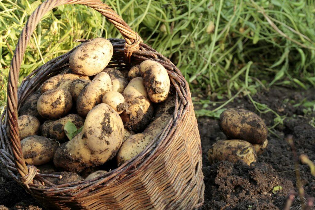 geerntete Kartoffeln