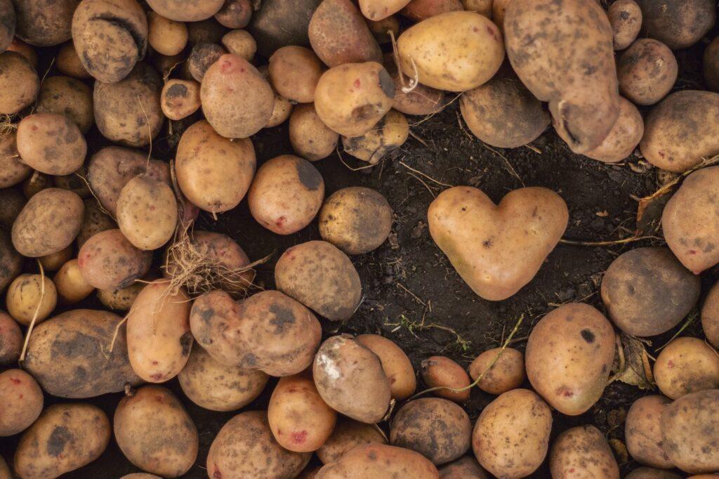 reife Kartoffeln