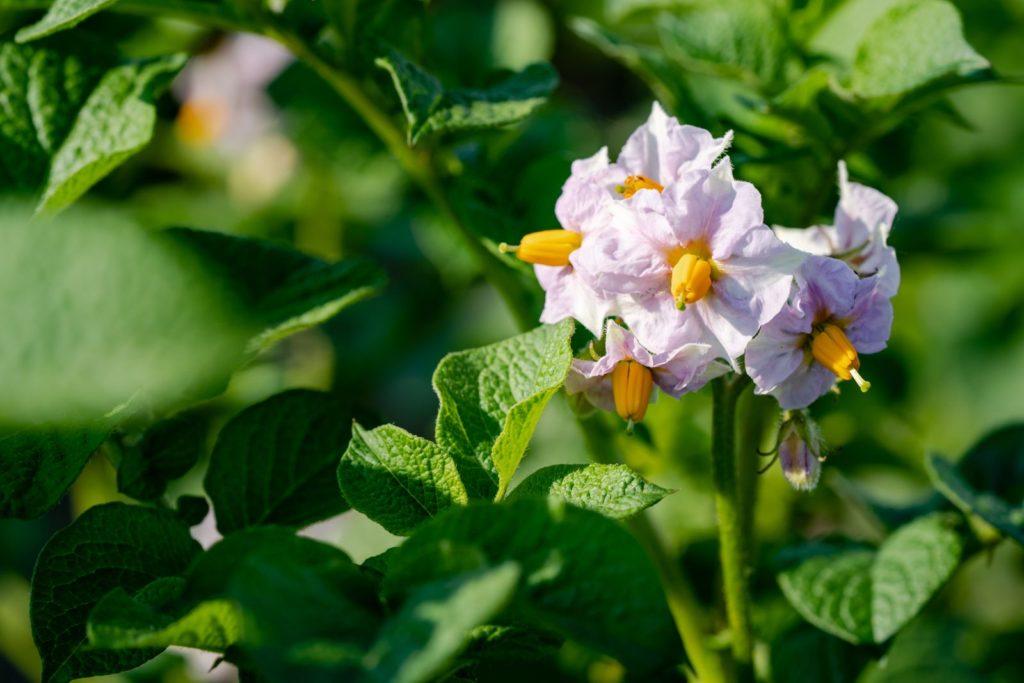 Violette Kartoffelblüte
