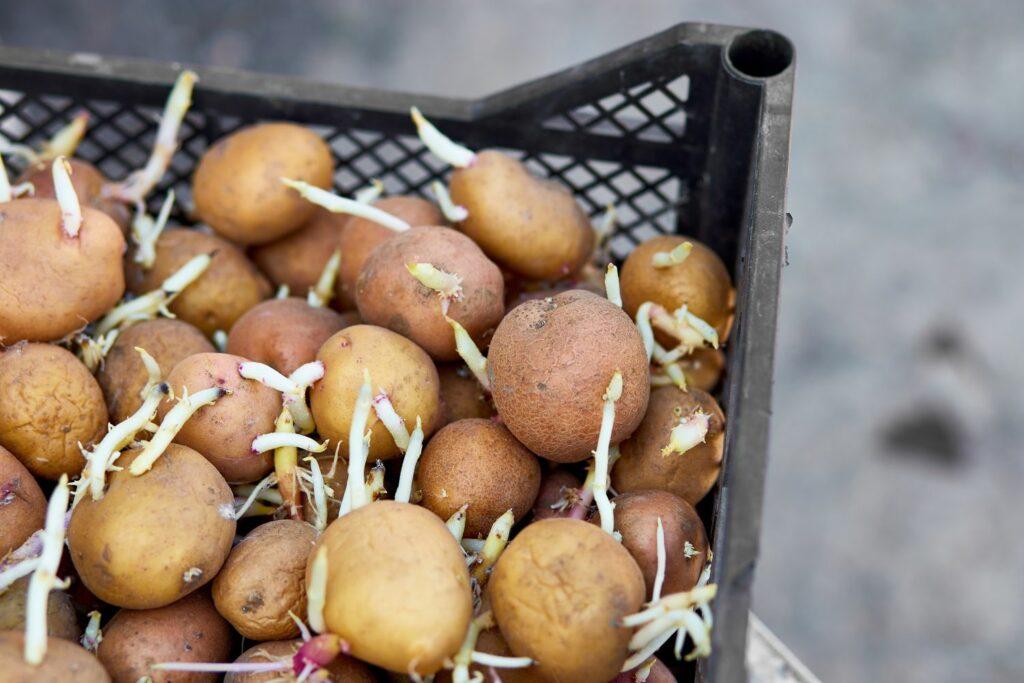 austreibende Kartoffeln