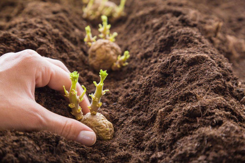Kartoffeln einpflanzen