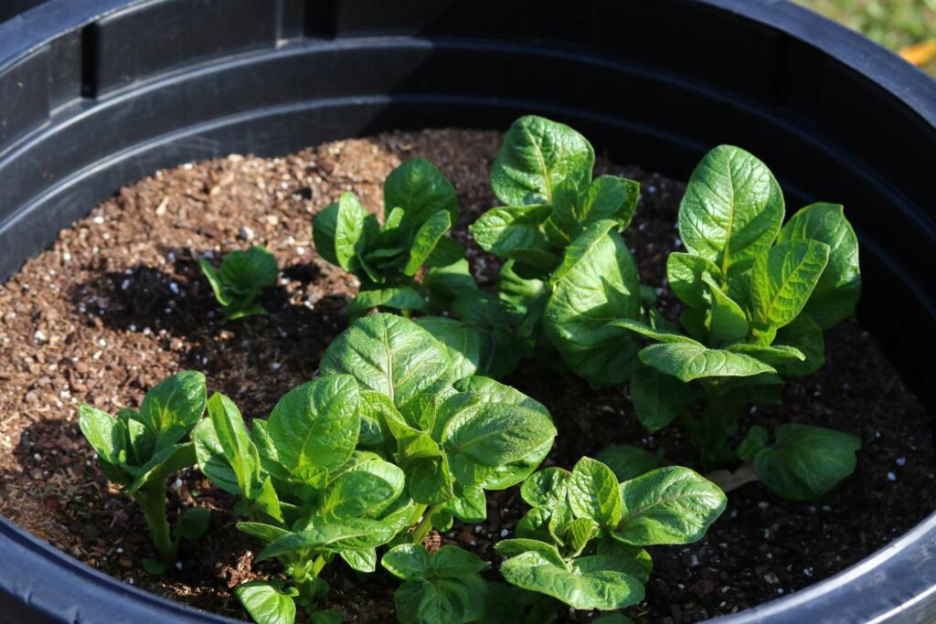 Kartoffelpflanze im Topf