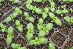 Kleine Basilikumpflanzen Stecklingsvermehrung Im Topf Anbauen