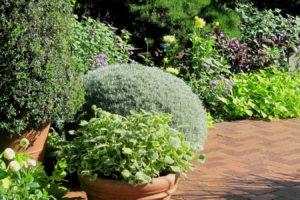 Kugelförmiges Currykraut Im Topf Anpflanzen