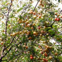 Natürliche Plumcots Biricoccolos