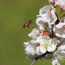 Plumcot Blüte Biricoccolo Mit Biene