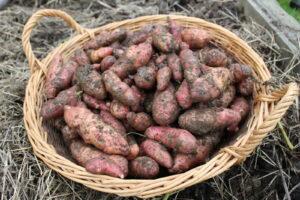 Rotschalige Kartoffelsorte Ernte Im Garten