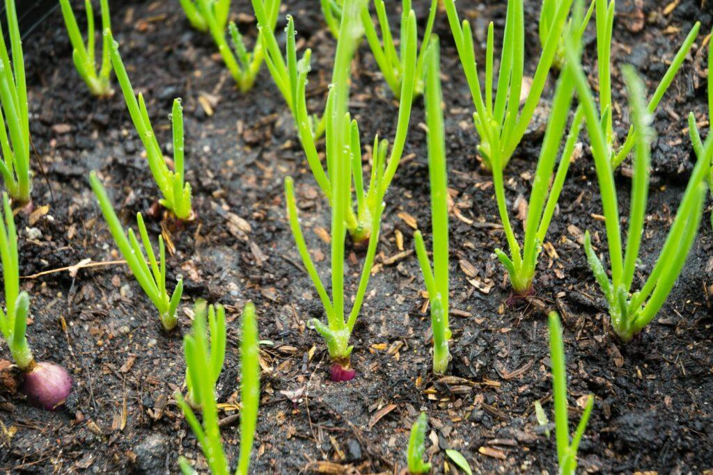 Schalotten werden in einem Beet angepflanzt