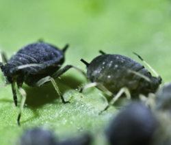 Schwarze Bohnenlaus Im Garten Bekämpfen