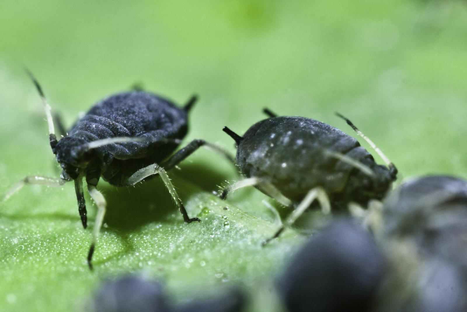 schwarze bohnenlaus erkennen vorbeugen biologisch bek mpfen plantura. Black Bedroom Furniture Sets. Home Design Ideas
