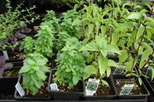 Sorten Basilikum Im Topf Anbauen