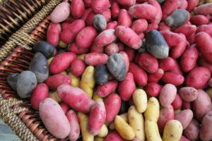 Verschiedene Altbewährt Kartoffelsorten