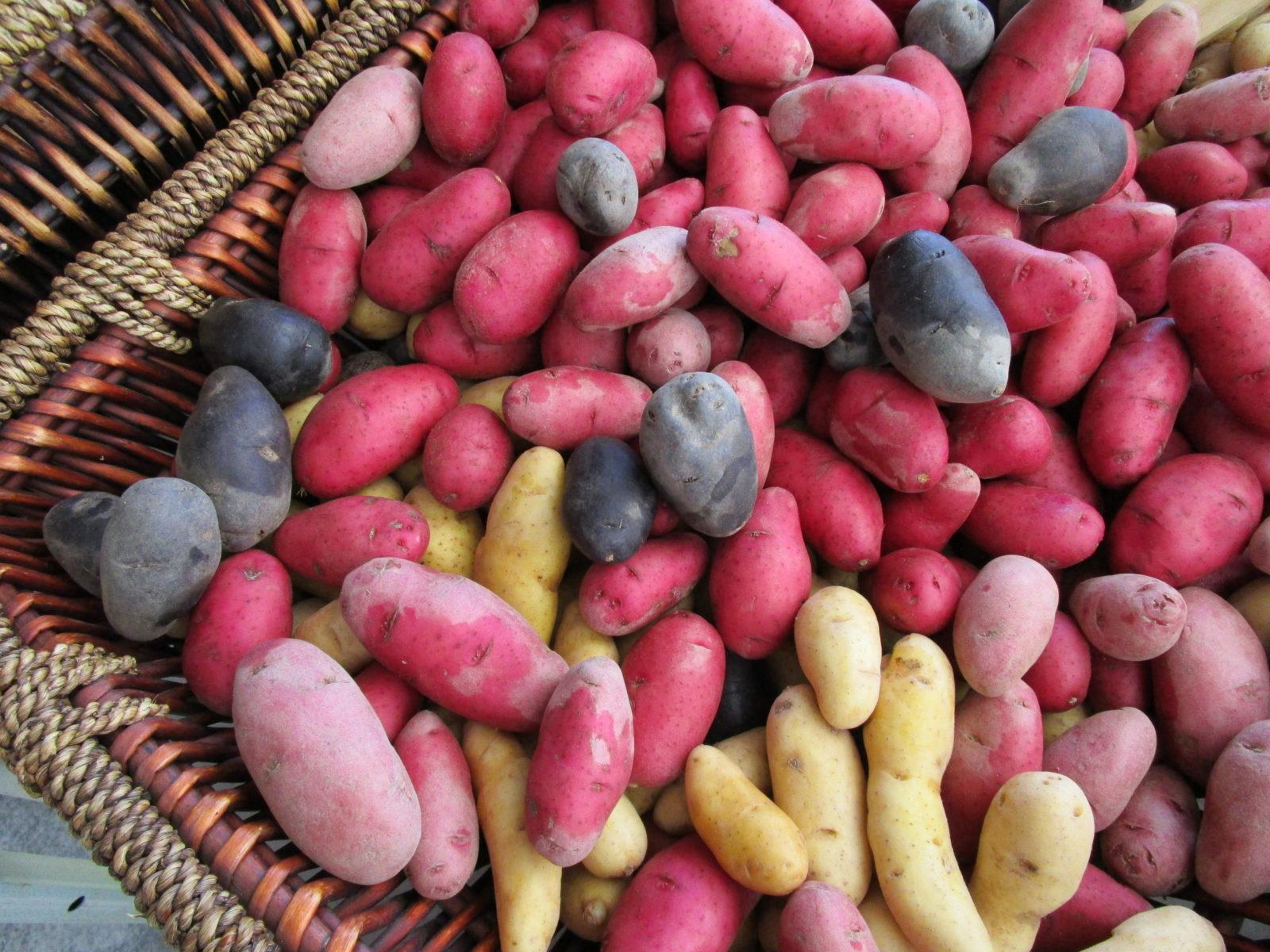 Kartoffelsorten Die Besten 50 Sorten Im überblick Plantura