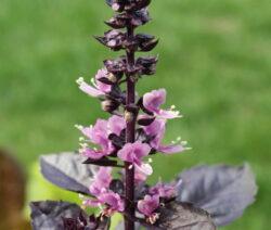 Violettes Basilikum In Voller Blüte