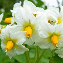 Weiße Kartoffelblüte Im Garten