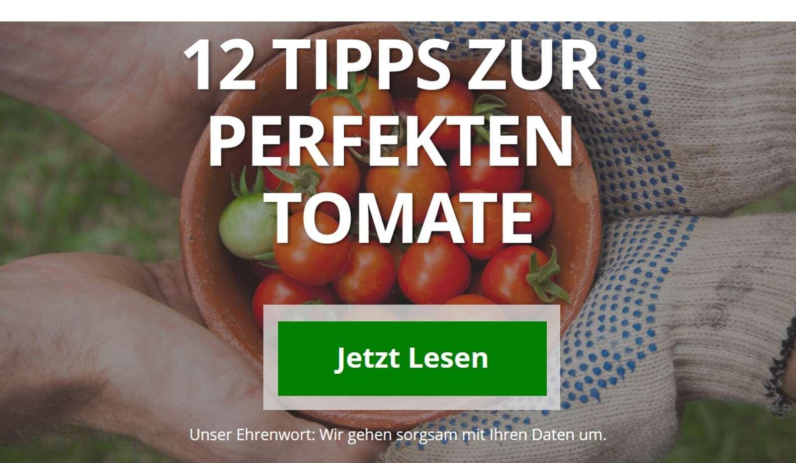 Tipps für die perfekte und reiche Tomatenernte