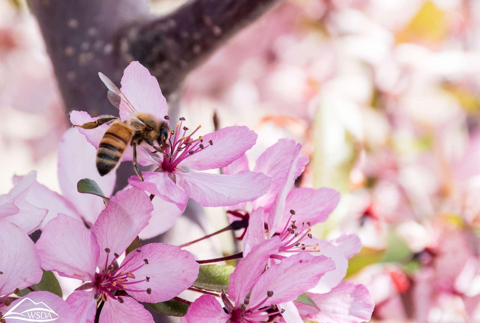 rosa Apfelblüte mit Biene