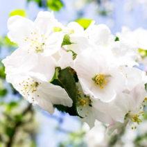 Weiße Apfelblüte