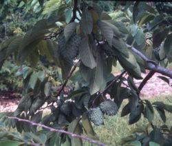 Baum Mit Früchten Der Atemoya