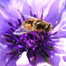 Violette Kornblume Mit Biene