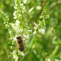 Biene Auf Steinklee