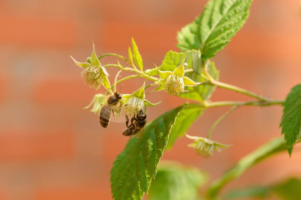 Bienen an Himbeerpflanze in der Sonne