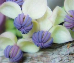 Blüte Nahaufnahme Akebia Blaugurkenrebe