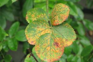 Rosenrost Flecken An Blattoberseite Rose