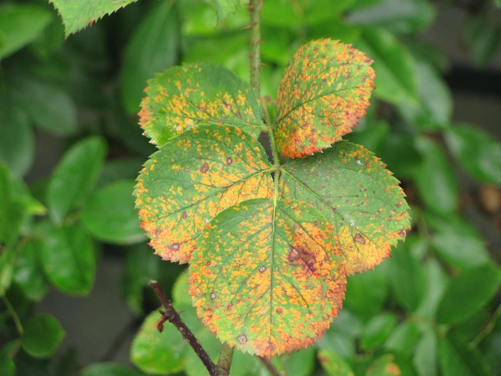 Berühmt Rosenrost: erkennen, vorbeugen und bekämpfen - Plantura &CZ_99