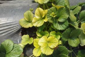 Chlorose An Erdbeeren Blätter
