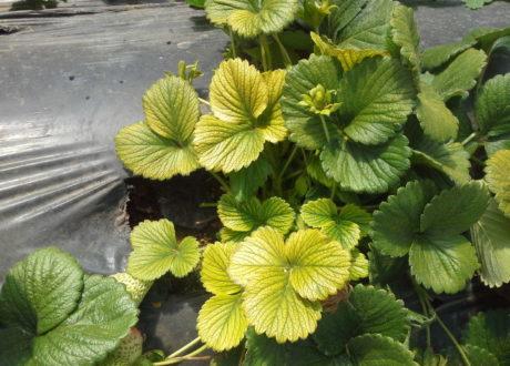 Gelbe Blätter: Ein Zeichen Von Eisenmangel Und Chlorose