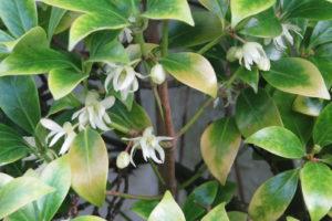 Chlorose An Blättern Citruspflanze