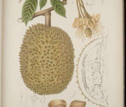 Durian Zeichnung