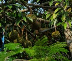 Durian Am Baum