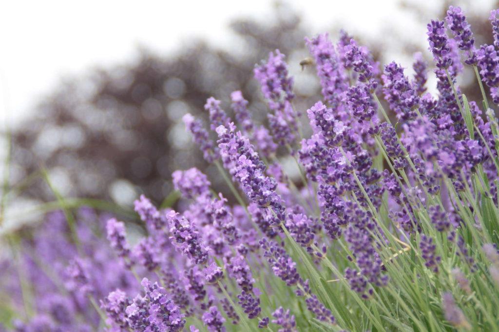 Echter Lavendel im Garten