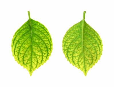 Gelbe Blätter an Hortensien: Eisenmangel erkennen & bekämpfen