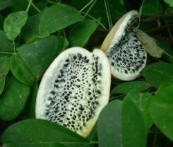 Frucht Akebia Blaugurkenrebe