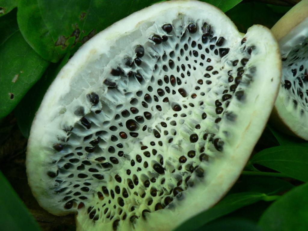 Frucht Nahaufnahme Akebia Blaugurkenrebe
