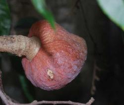 Fruchtansatz Atemoya