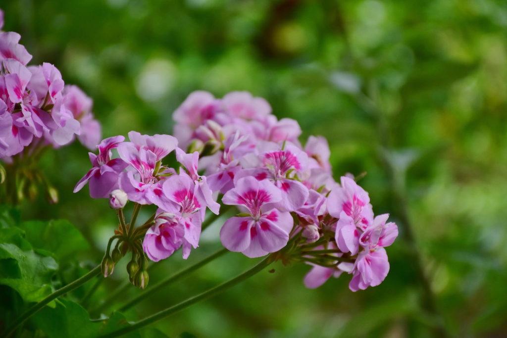 Geranien in Pink